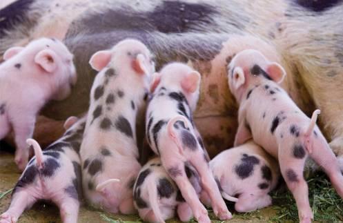 sow-feeding-piglets-1510